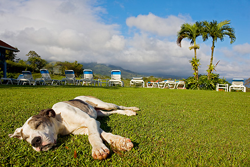 PUP 45 JE0008 01 © Kimball Stock German Mastiff Puppy Sleeping On Grass By Lawn Chairs And Palm Trees In Costa Rica