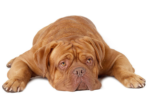 PUP 45 JE0010 01 © Kimball Stock Dogue De Bordeaux Puppy Laying On White Seamless