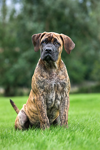 PUP 45 JS0002 01 © Kimball Stock Boerboel Puppy Sitting On Grass