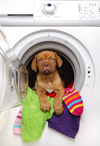PUP 45 XA0001 01 © Kimball Stock Dogue De Bordeaux Puppy Laying In Dryer