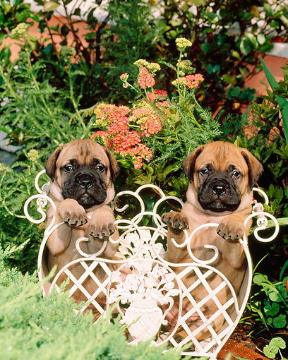 PUP 45 CE0002 01 © Kimball Stock Two Bullmastiff Puppies Sitting In White Planter In Garden