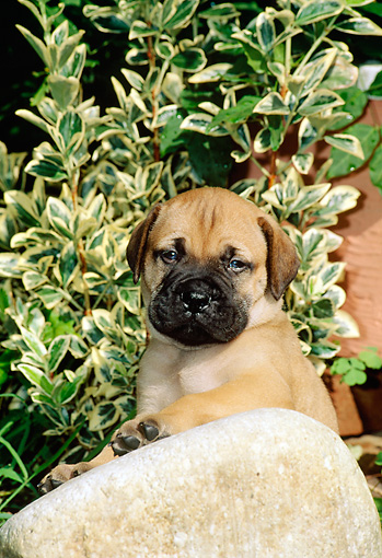 PUP 45 CE0004 01 © Kimball Stock Bullmastiff Puppy Sitting Behind Rock By Shrub