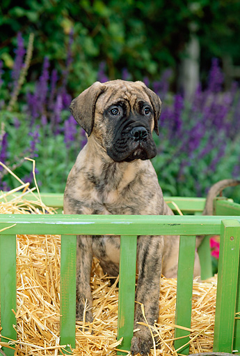 PUP 45 CE0005 01 © Kimball Stock Bullmastiff Puppy Sitting On Hay In Cart