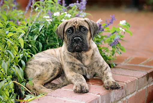 PUP 45 CE0007 01 © Kimball Stock Bullmastiff Puppy Laying In Brick Planter By Flowers