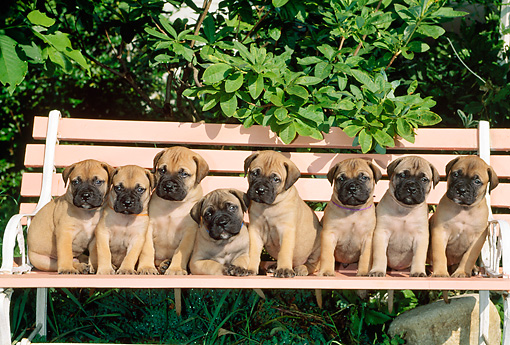 PUP 45 CE0008 01 © Kimball Stock Eight Bullmastiff Puppies Sitting On Bench By Tree