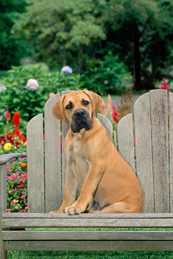 PUP 45 CE0011 01 © Kimball Stock Boerboel Puppy Sitting On Wooden Bench By Garden
