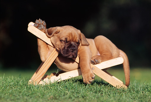 PUP 45 SS0002 01 © Kimball Stock Dogue de Bordeaux Puppy Sleeping On Chair On Grass