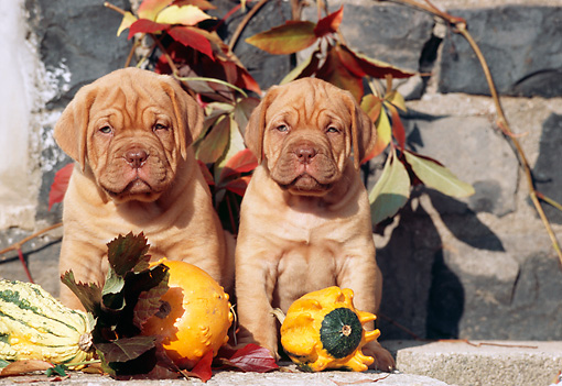 PUP 45 SS0004 01 © Kimball Stock Two Dogue de Bordeaux Puppies Sitting On Cement By Gourds And Leaves