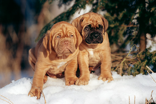 PUP 45 SS0005 01 © Kimball Stock Two Dogue de Bordeaux Puppies Sitting On Snow