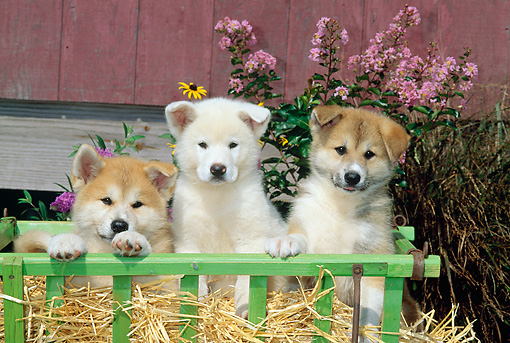 PUP 46 CE0008 01 © Kimball Stock Three Akita Puppies Sitting On Hay In Cart By Red Barn