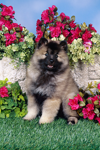 PUP 47 FA0001 01 © Kimball Stock Keeshond Puppy Sitting On Grass By Stone Wall And Red Flowers