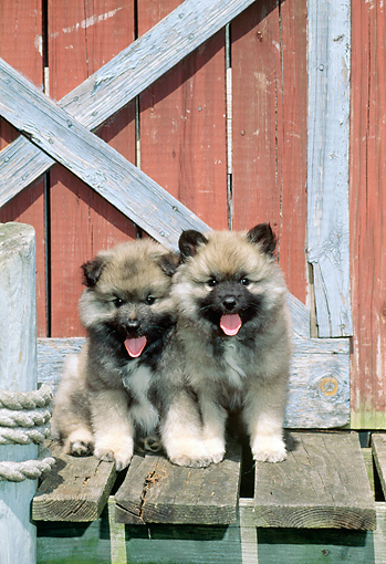 PUP 47 CE0003 01 © Kimball Stock Two Keeshond Puppies Sitting On Dock By Boathouse