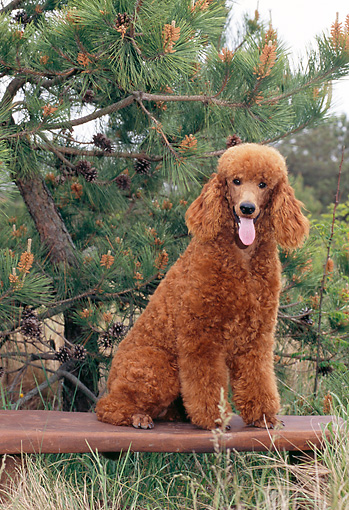 PUP 48 CE0009 01 © Kimball Stock Standard Poodle Puppy Sitting On Bench In Forest