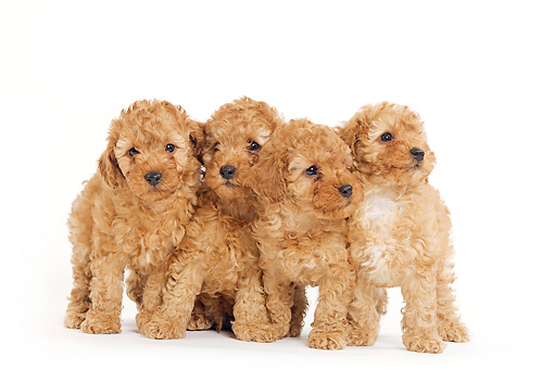 Apricot Toy Poodle Puppies Standing On White Seamless Kimballstock