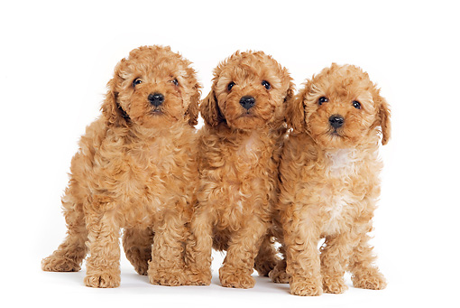 PUP 48 JE0002 01 © Kimball Stock Apricot Toy Poodle Puppies Standing On White Seamless