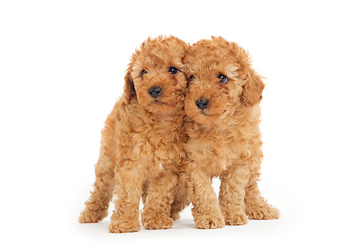 PUP 48 JE0003 01 © Kimball Stock Apricot Toy Poodle Puppies Standing On White Seamless