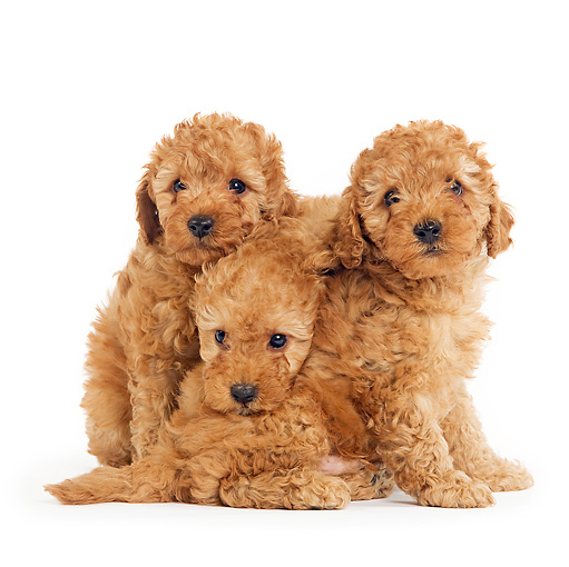 Apricot Toy Poodle Puppies Sitting On White Seamless Kimballstock