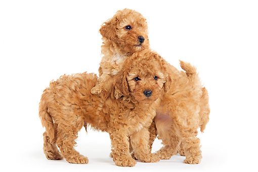 PUP 48 JE0005 01 © Kimball Stock Apricot Toy Poodle Puppies Standing On White Seamless