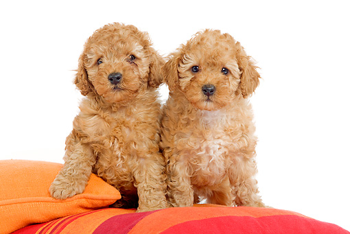 PUP 48 JE0006 01 © Kimball Stock Apricot Toy Poodle Puppies Sitting On Pillows On White Seamless