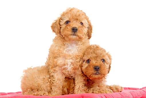PUP 48 JE0007 01 © Kimball Stock Apricot Toy Poodle Puppies Sitting On Red Blanket On White Seamless