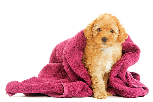 PUP 48 JE0009 01 © Kimball Stock Apricot Toy Poodle Puppy Sitting Under Magenta Towel On White Seamless