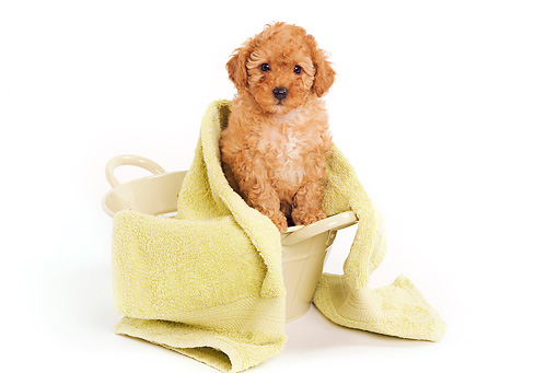 PUP 48 JE0010 01 © Kimball Stock Apricot Toy Poodle Puppy In Laundry Basket Under Yellow Towel On White Seamless