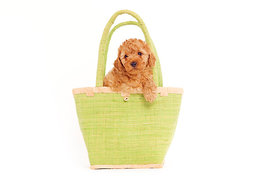 PUP 48 JE0011 01 © Kimball Stock Apricot Toy Poodle Puppy In Green Purse On White Seamless