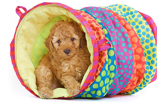 PUP 48 JE0012 01 © Kimball Stock Apricot Toy Poodle Puppy Sitting In Colorful Tunnel On White Seamless