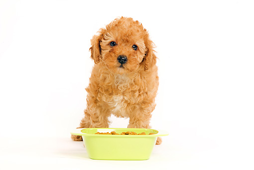 PUP 48 JE0013 01 © Kimball Stock Apricot Toy Poodle Puppy Standing By Food Bowl On White Seamless