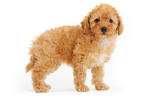 PUP 48 JE0014 01 © Kimball Stock Apricot Toy Poodle Puppy Standing On White Seamless