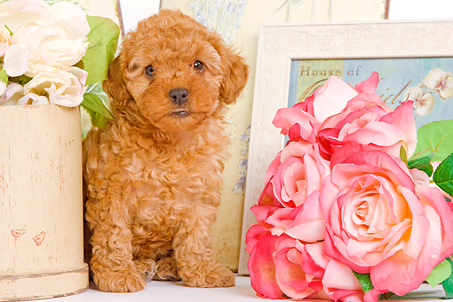 PUP 48 JE0015 01 © Kimball Stock Apricot Toy Poodle Puppy Sitting By Roses