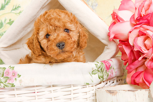 PUP 48 JE0016 01 © Kimball Stock Apricot Toy Poodle Puppy Sitting In White Basket By Roses