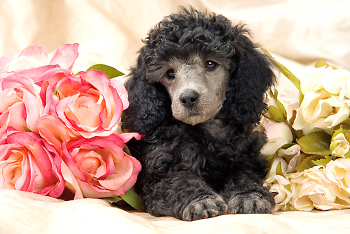 PUP 48 JE0017 01 © Kimball Stock Silver Toy Poodle Puppy Laying By Roses