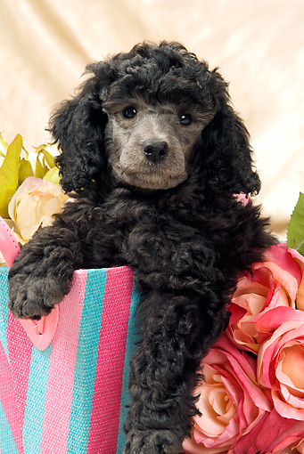 PUP 48 JE0018 01 © Kimball Stock Silver Toy Poodle Puppy Sitting In Pink And Blue Purse By Roses