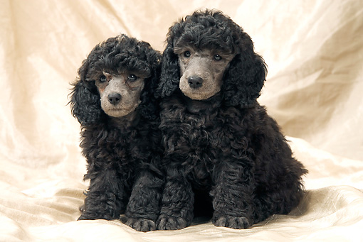 PUP 48 JE0020 01 © Kimball Stock Silver Toy Poodle Puppies Sitting On Sheet