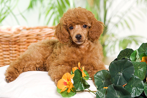 PUP 48 JE0021 01 © Kimball Stock Standard Poodle Puppy Laying On Pillow By Orange Flowers