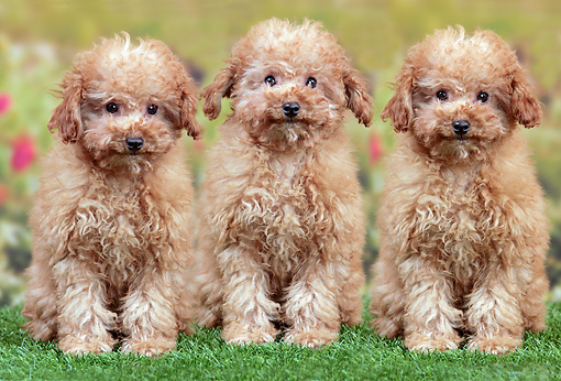 Three Apricot Poodle Puppies Sitting On Grass In Garden Kimballstock