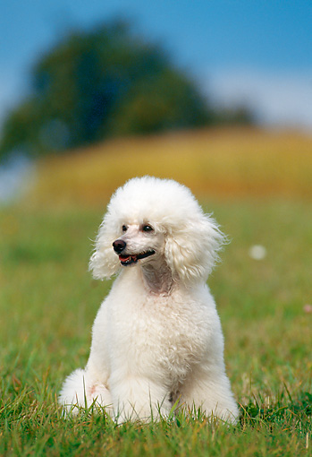PUP 48 KH0001 01 © Kimball Stock Poodle Puppy Sitting In Grass Field