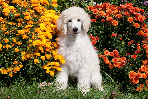 PUP 48 LS0001 01 © Kimball Stock Standard Poodle Puppy Sitting On Grass By Chrysanthemums