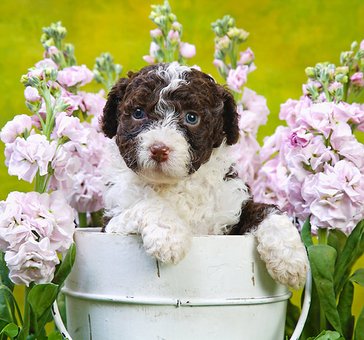 PUP 48 XA0002 01 © Kimball Stock Poodle Puppy Sitting In Bucket With Flowers