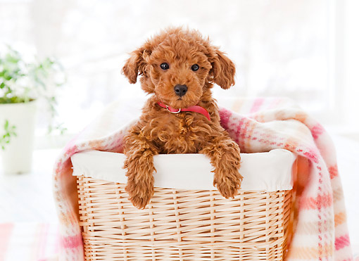 PUP 48 YT0006 01 © Kimball Stock Toy Poodle Puppy Sitting In Basket With Blanket