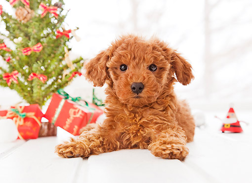 PUP 48 YT0008 01 © Kimball Stock Toy Poodle Puppy Laying By Christmas Tree And Gifts