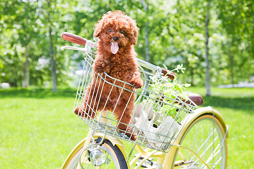 PUP 48 YT0009 01 © Kimball Stock Toy Poodle Puppy Standing In Bicycle Basket