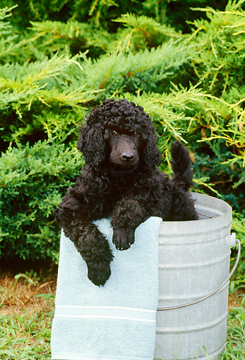 PUP 48 CE0002 01 © Kimball Stock Standard Poodle Puppy Sitting In Metal Bucket By Shrubs