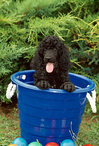 PUP 48 CE0003 01 © Kimball Stock Standard Poodle Puppy Sitting In Blue Plastic Bucket By Shrubs