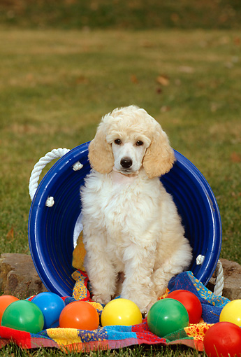PUP 48 CE0004 01 © Kimball Stock Standard Poodle Puppy Sitting In Blue Plastic Bucket By Colorful Balls