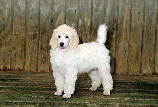 PUP 48 CE0006 01 © Kimball Stock Standard Poodle Puppy Standing On Deck By Building