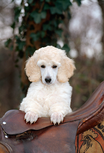 PUP 48 CE0007 01 © Kimball Stock Head On Shoulder Shot Of Standard Poodle Puppy Laying On Saddle By Trees