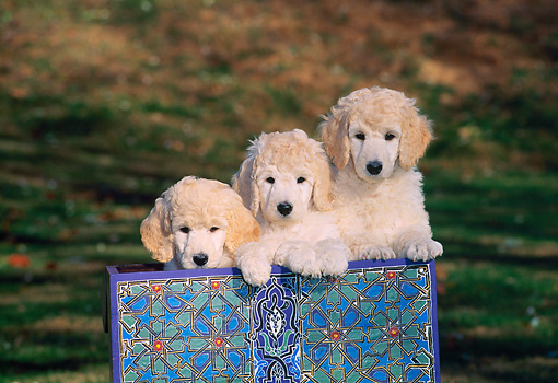 PUP 48 CE0008 01 © Kimball Stock Head On View Of Three Standard Poodle Puppies Sitting In Box By Trees