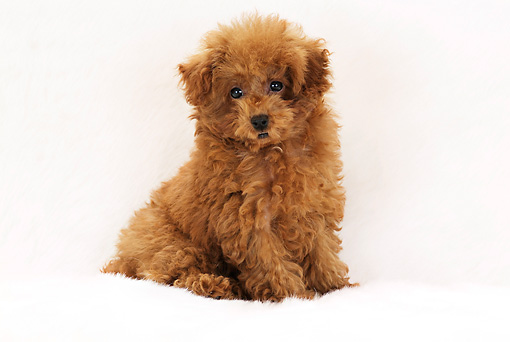 PUP 48 YT0001 01 © Kimball Stock Toy Poodle Puppy Sitting On White Rug
